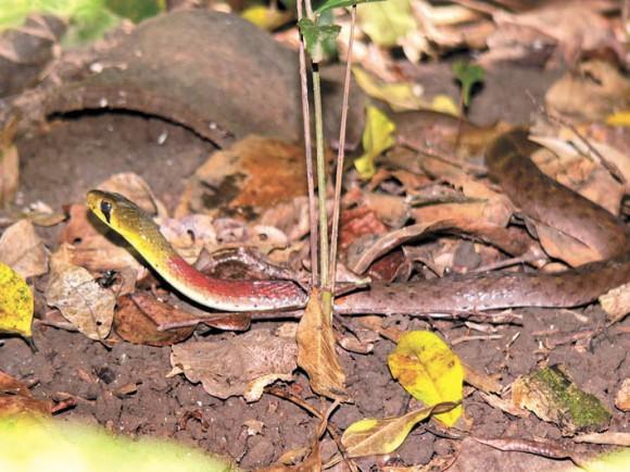 Малайский кустарниковый уж (RhabdophIs submInIatus)