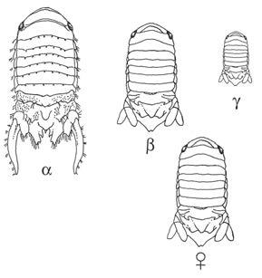 Рис. 3. Рачки Paracerceis sculpta: три типа самцов и самка («Википедия»)