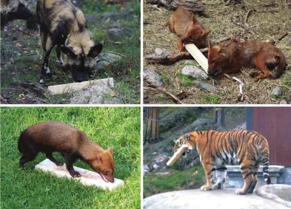 Рис. 1. Животные по-разному возятся с пахучими дощечками. Слева вверху: гиеновидная собака Lycaon pictus обнюхивает дощечку; справа вверху: два красных волка Cuon alpinus грызут ее; внизу слева кустарниковая собака Speothos venaticus, исследуя образец, заворачивает верхнюю губу и «морщится»; внизу справа сибирский тигр Panthera tigris altaica играет с дощечкой (в данном случае переносит ее) [Nilssonetal., 2014]