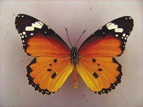 Данаида хризипп (Danaus chrysippus). Долина реки Сатледж, 30 сентября 2011 года (1200 м). Из коллекции ЗИН РАН. Фото А.Л. Львовского