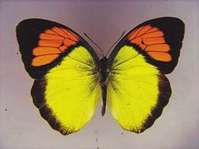 Белянка пирена (Ixias pyrene). Канум,  река Сатледж (2800 м), 4 октября 2011 года. Из коллекции ЗИН РАН.  Фото А.Л. Львовского