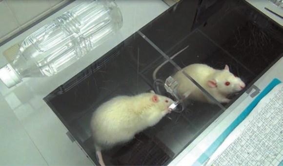 Рис. 2. Крыса из сухого отсека впускает мокрую соседку (news.sciencemag.org)