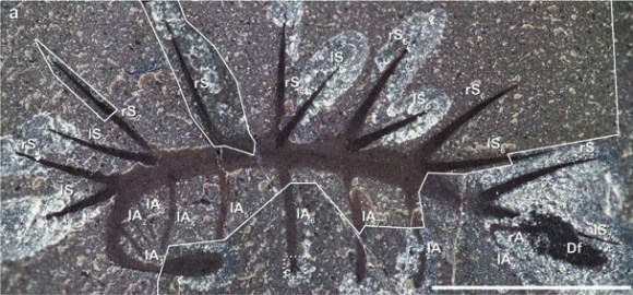 Рис. 1. Отпечаток Hallucigenia sparsa. Справа — темное пятно, оставленное вытекшей из кишечника жидкостью (Df), слева — отпечаток головы [Smith & Caron, 2015]