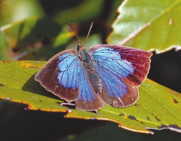 Рис. 1. Бабочка Narathura japonica (Википедия)