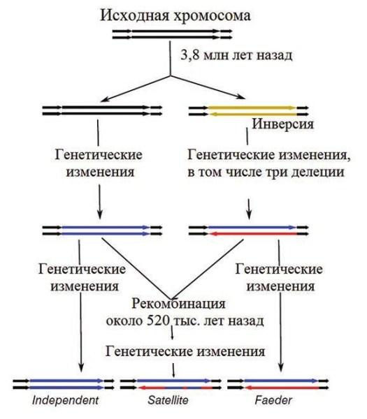 Рис. 2. Предполагаемая эволюционная история аллелей, определившая систему спаривания турухтанов (Lamichhaney et al., 2015)
