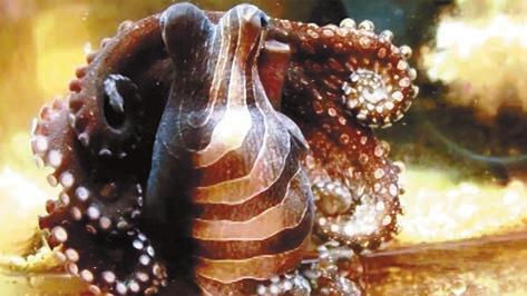 Большой тихоокеанский полосатый осьминог бывает окрашен весьма причудливо. www.calacademy.org