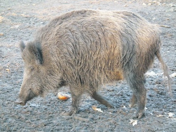Дикий кабан. Фото: «Википедия»