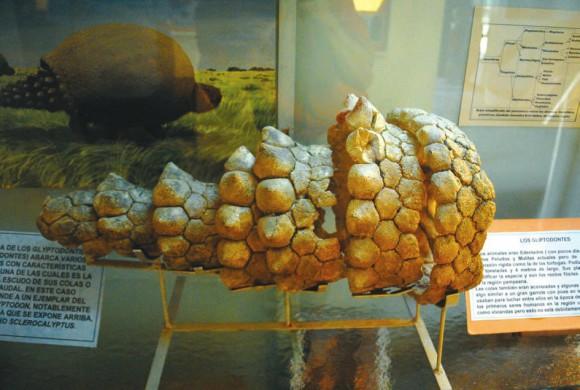 Рис. 3. Хвост глиптодона (Городской музей Пунта Херменго, Аргентина). «Википедия»