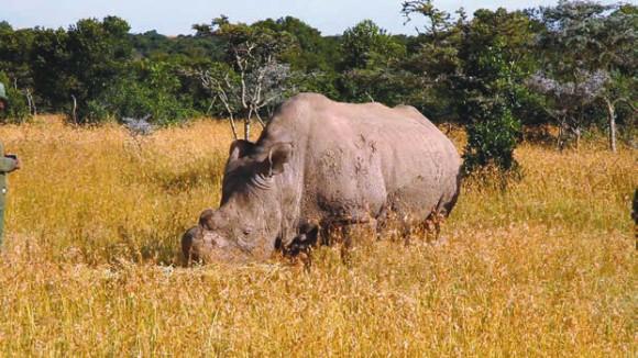 Судан. Рог носорога обрезан сотрудниками заповедника, чтобы защитить животное от многочисленных браконьеров. Фото: «Википедия»
