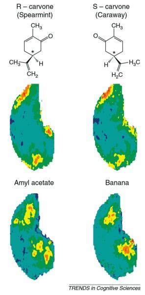 """Пример трехмерной карты активности нейронов в обонятельной луковице, в которой закодированы несколько разных запахов (Anat Arzi, Noam Sobel """"Olfactory perception as a compass for olfactory neural maps"""")"""