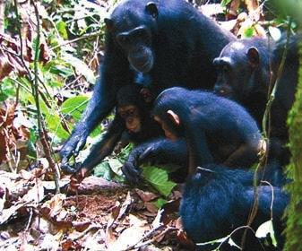 Рис. 2. Самка шимпанзе в окружении молодежи выуживает муравьев палочкой (www.cell.com)