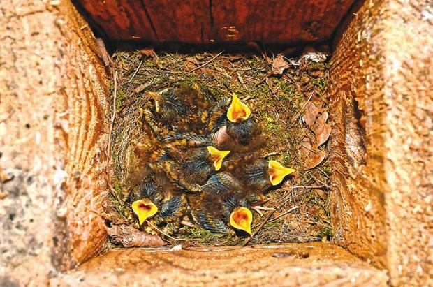Фото 1. Птенцы в гнезде