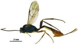 Оса-наездник (Venturia canescens) (www.landcareresearch.co.nz)