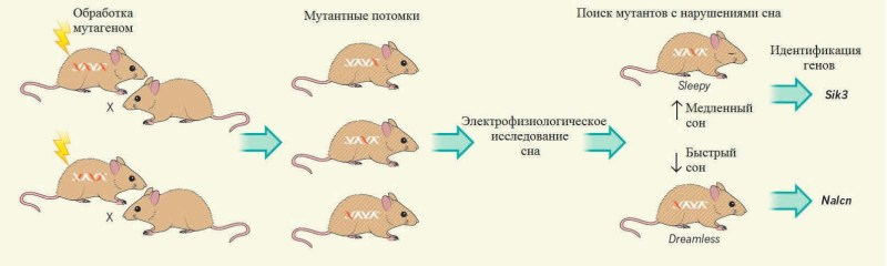 Поиск сонных мутаций (Dijk, Winsky-Sommerer, 2016)
