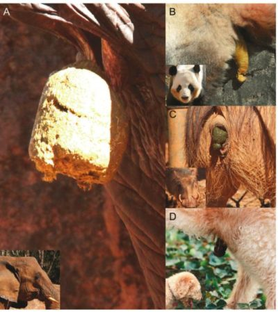 1. Все животные делают это. Сцены дефекации, которыми исследователи сочли необходимым проиллюстрировать свою работу. А) слон; В) большая панда; С) бородавочник; D) собака. Все экскременты имеют форму колбаски