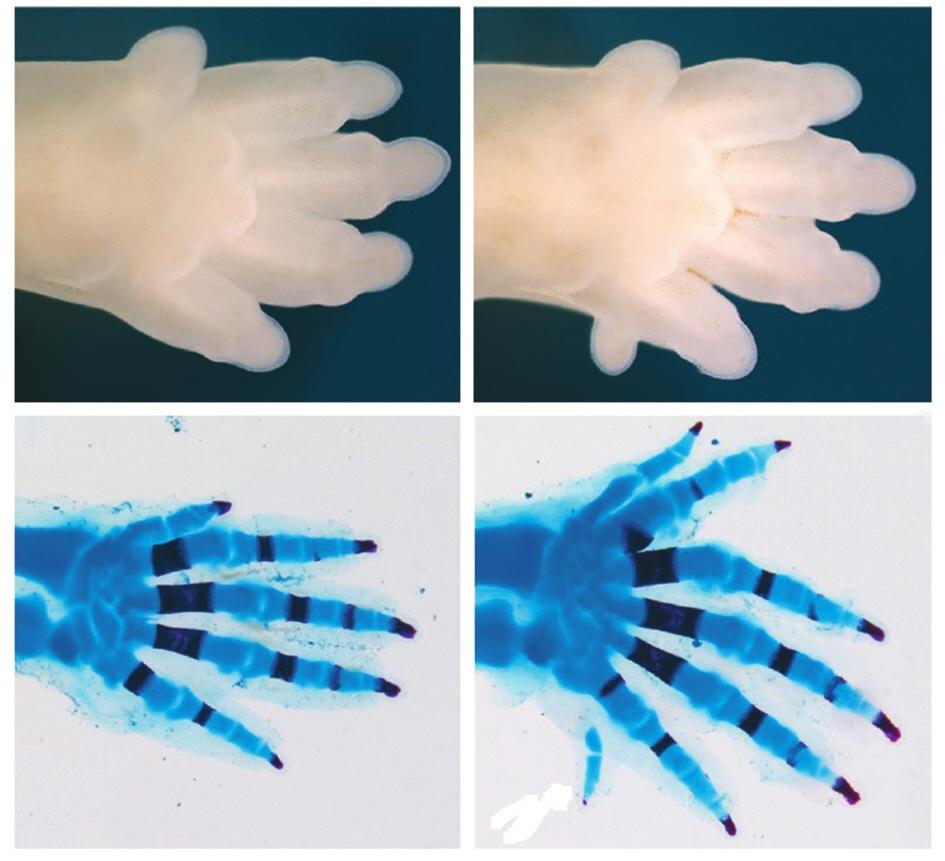 Рис. 4. У мышей на лапах по пять пальцев (слева), но, если ген Ноха11 активен в дистальной части будущей конечности, количество пальцев достигает семи (справа). Kherdjemil et al., 2016, с модификацией