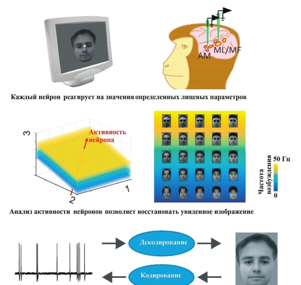 Рис. 2. Идентификация лица (Chang, Tsao, 2017). Определенные области коры возбуждаются при виде лица; каждый нейрон реагирует на значения определенных лицевых параметров; анализ активности нейронов позволяет восстановить увиденное изображение