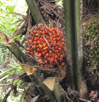Плоды масличной пальмы («Википедия»)