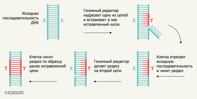 Рис. 1 Алгоритм работы нового редактора генома (nature.com/articles/d41586-019-03164-5)