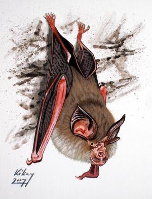 Малый подковонос Rhinolophus hipposideros, один из видов европейской летучей мыши. «Википедия»
