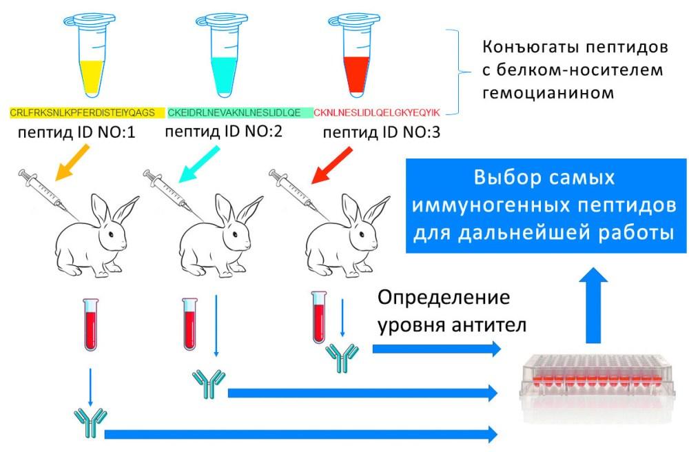 Рис. 3. Скрининг пептидов у кроликов