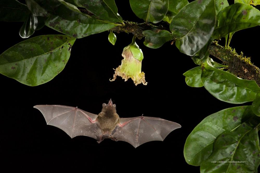 Рис. 3. Землеройковидный листонос (Glossophaga soricina). Фото Gregory Basco / Deep Green Photography