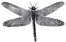 Meganuera monyi Brongniart, размах крыльев – 75 см