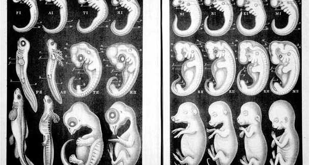 Рисунок Геккеля. Слева направо: зародыши рыбы, саламандры, черепахи, курицы, свиньи, коровы, собаки, человека