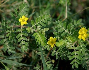 Scientifically proven Aphrodisiacs Tribulus terrestris