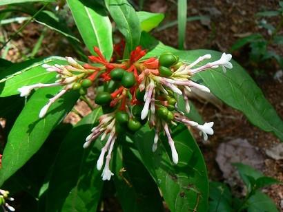 7 hypotensive herbs - Rauwolfia serpentina