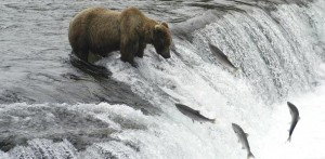 salmon-swimming-upstreambear