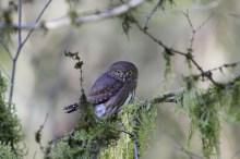 Northern Pygmy Photo by: Daryl