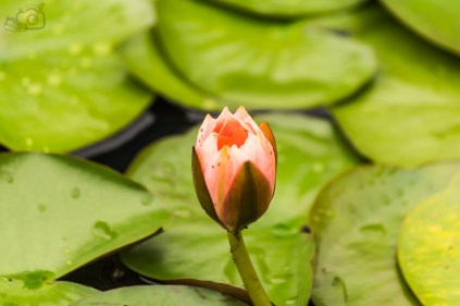Lotus in a pond, Honey Valley Coorg, Shwetha Krish