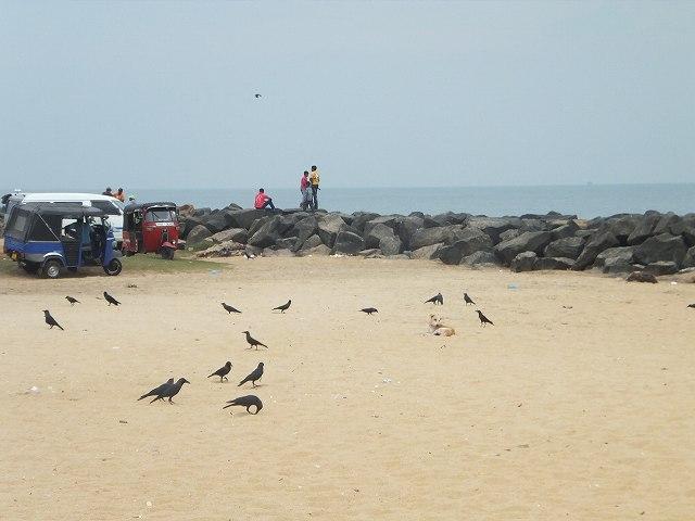 ハンパないカラスの量!ネゴンボビーチ:スリランカ