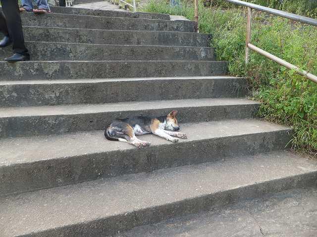 階段で寝る犬、ダンブッラ黄金寺院:スリランカ