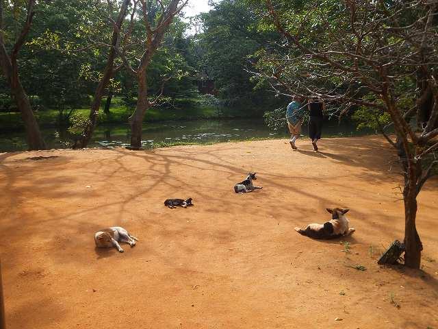 暑さにへばる犬たち:スリランカ
