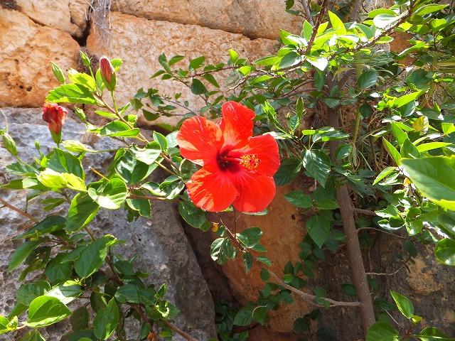 ケコバ島で咲いていたハイビスカス