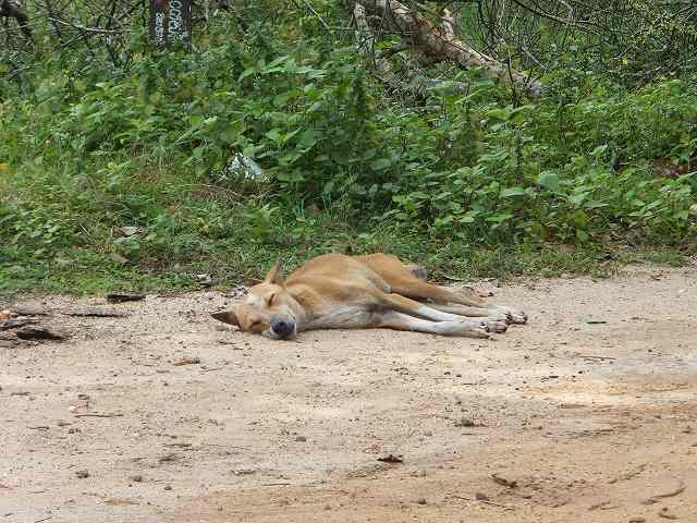 暑さですっかりぐったりのスリランカ犬