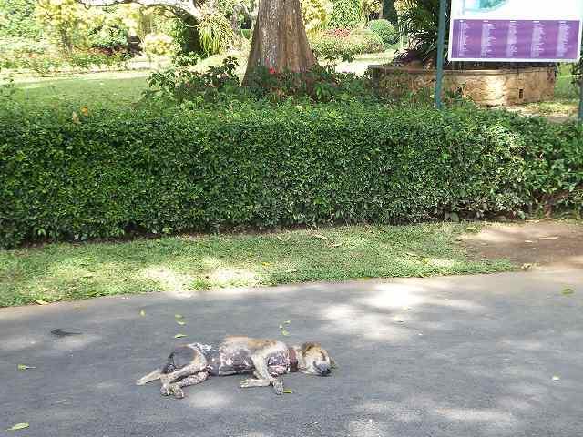スリランカ同じみの、昼寝をする野良犬