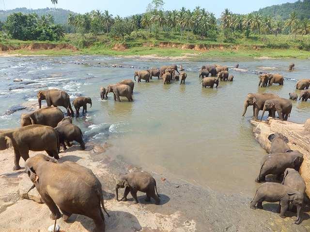 居ました!たくさんの象たちが♪:ピンナワラ象の孤児院、スリランカ旅行記