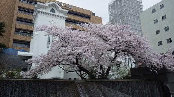 日本大通りにあった綺麗な桜