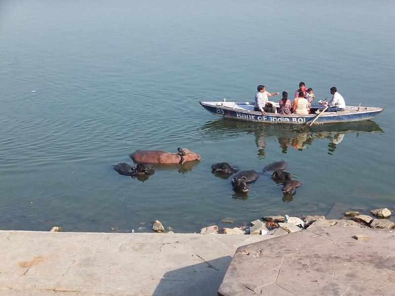 牛も沐浴します:インドバラナシのガンジス河