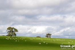 Owieczki. W drodze z Melbourne do Adelaide
