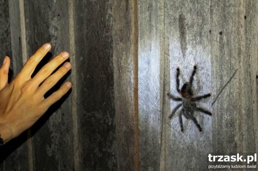 Tarantula wielkości dłoni... Weź tu zaśnij w takim towarzystwie