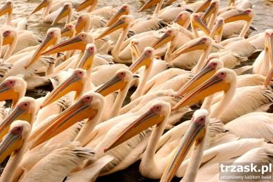 Pelikany, Jezioro Tana