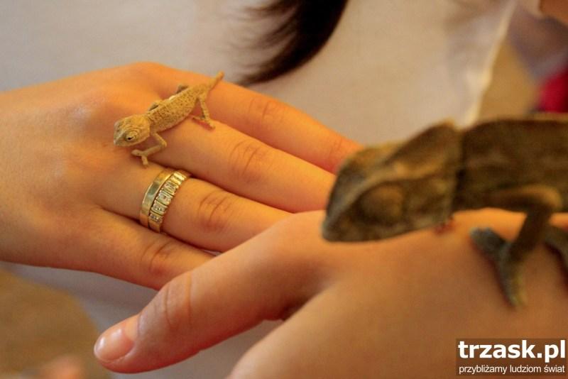 małe kameleonie dziecko;)