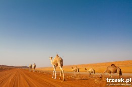A camel with his familly, at Wahiba Sands.