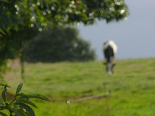 Legelő tehén