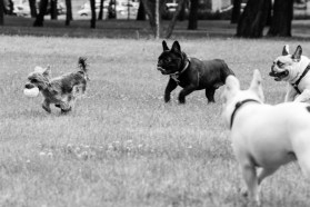 bulldog piknik-0800