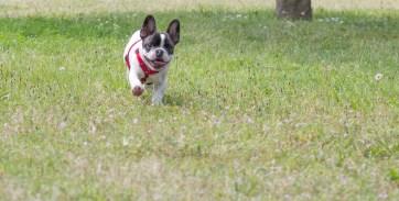 bulldog piknik-0852